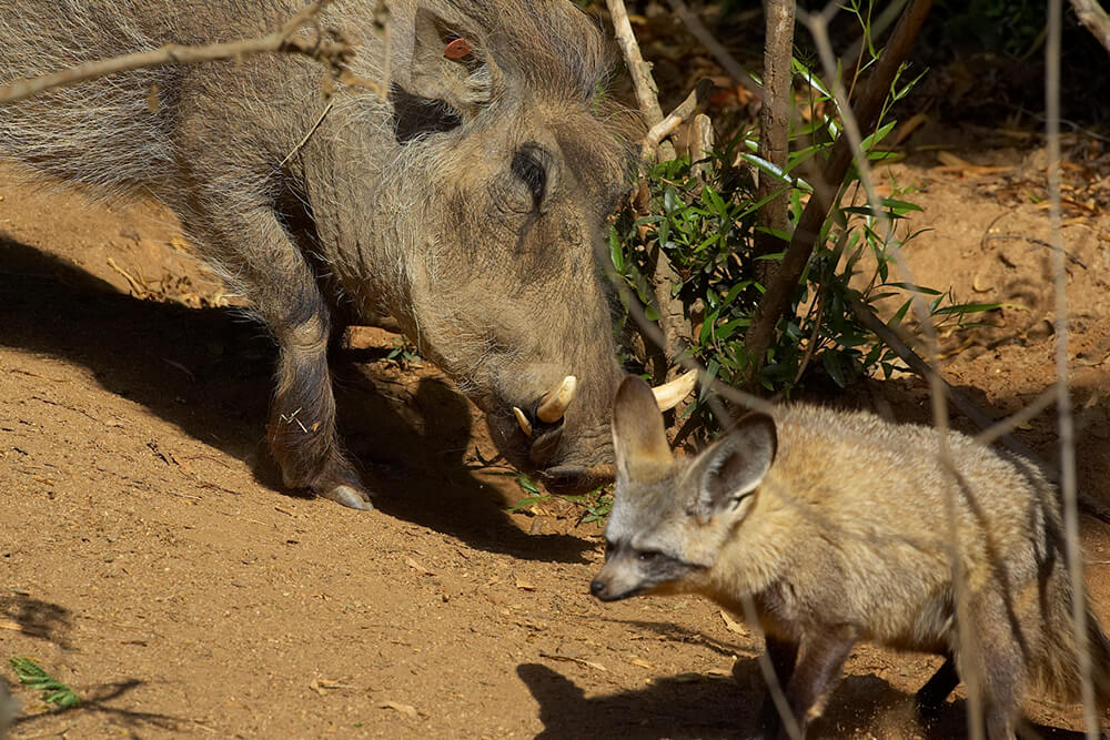 A warthog shares its enclosure with bat-eared foxes.