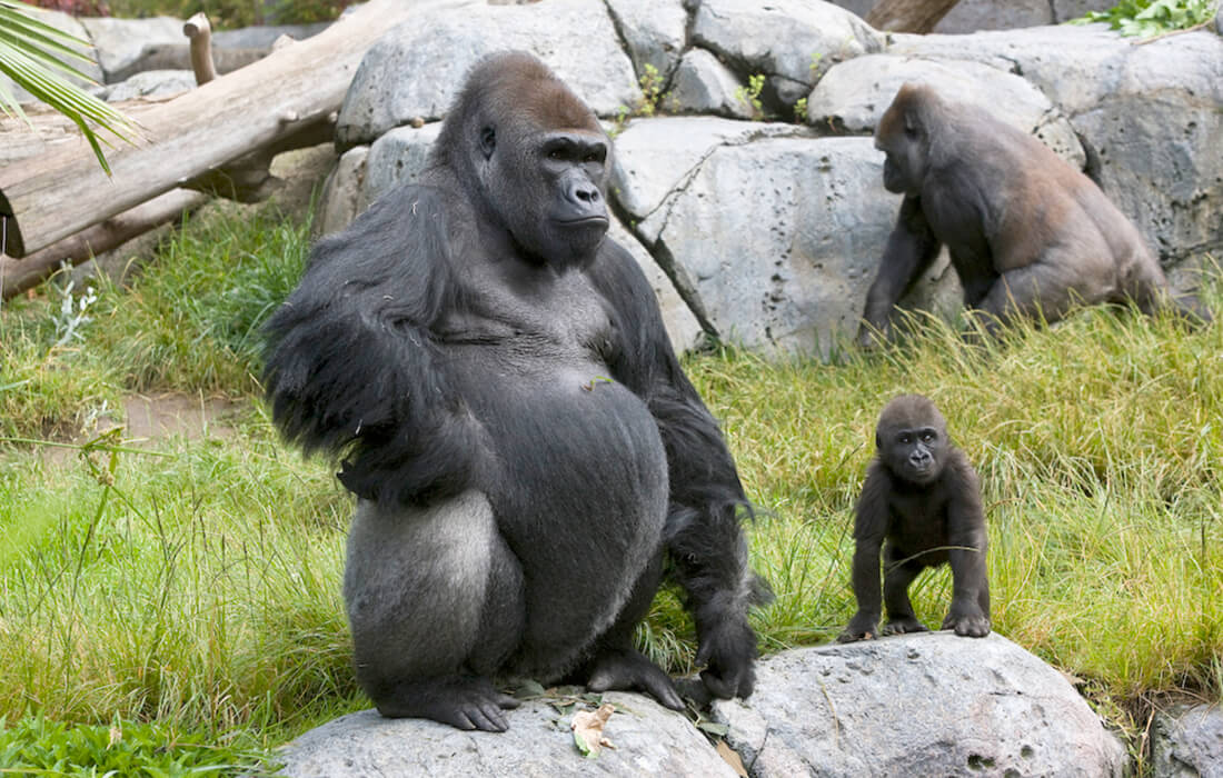 A large adult gorilla stands next to a small young gorilla, as another large adult has its back to them the background