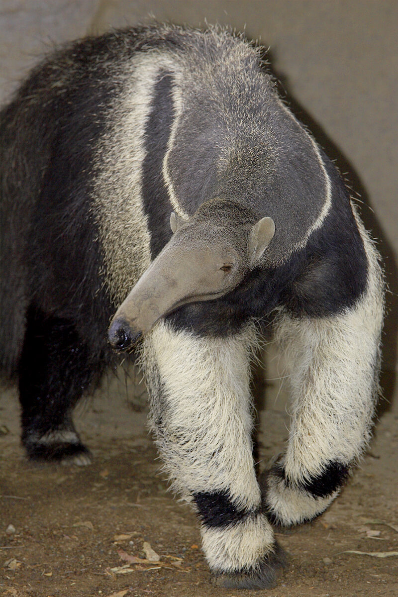 An adult giant ant eater walking towards the camera