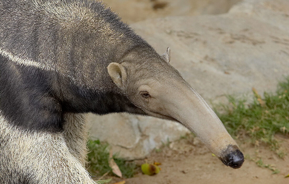 Profile of an adult giant anteater, displaying its long nose.