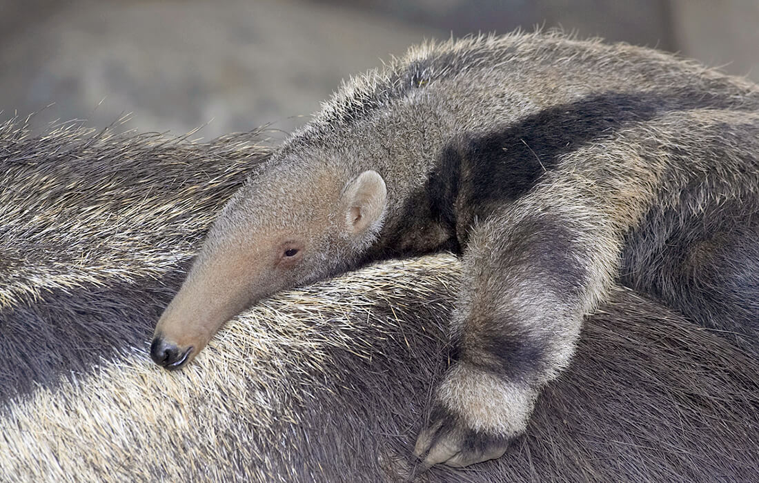 A baby giant anteater rides on its mother's back, holding on tight to her coarse, long hair.