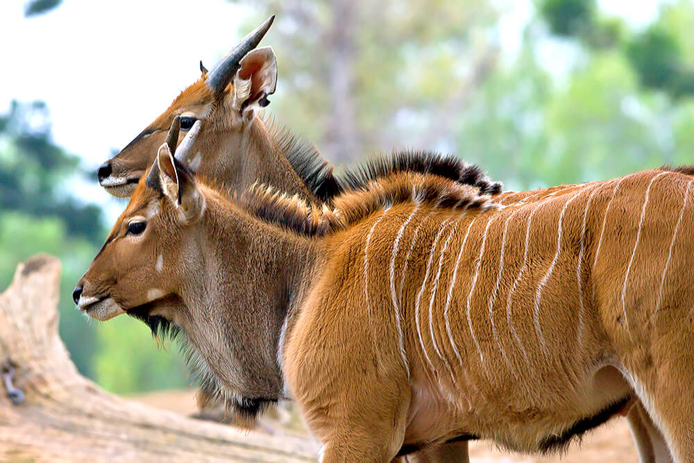 A pair of Giant Eland in profile