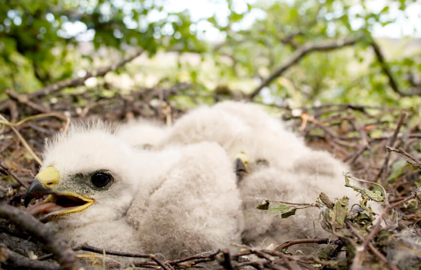 Golden eagle chicks in their nest
