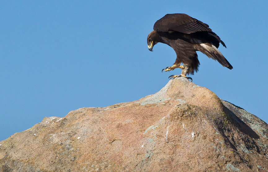 Tonka the golden eagle sits atop a large boulder against a blue sky