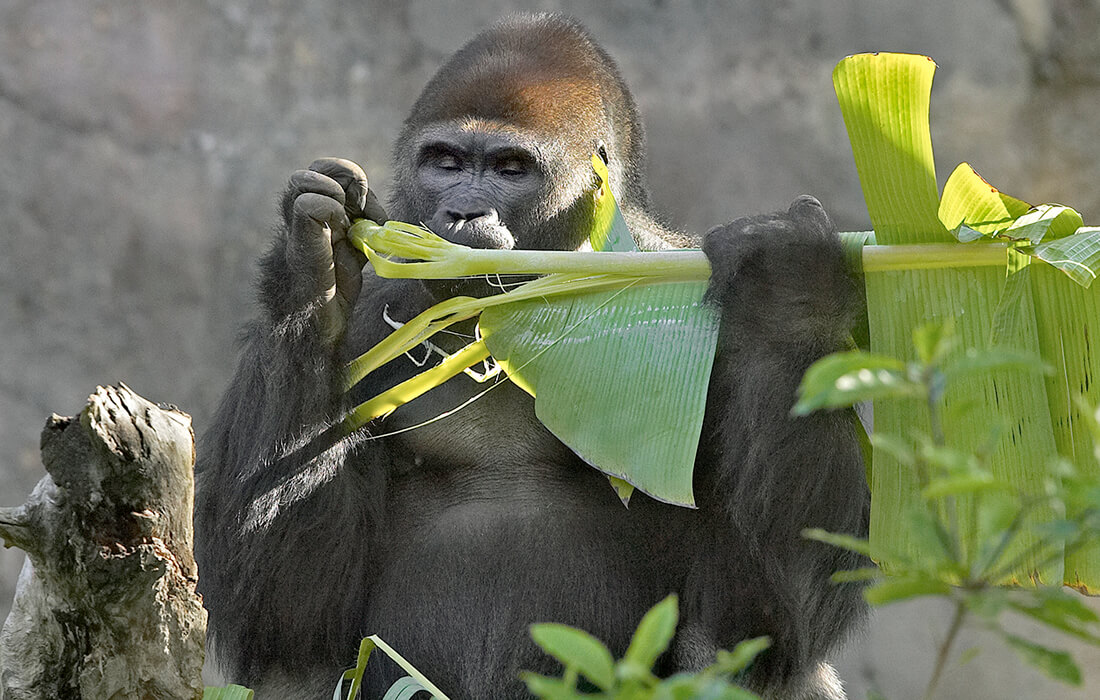 Adult gorilla eating a large leaf while holding it in both hands