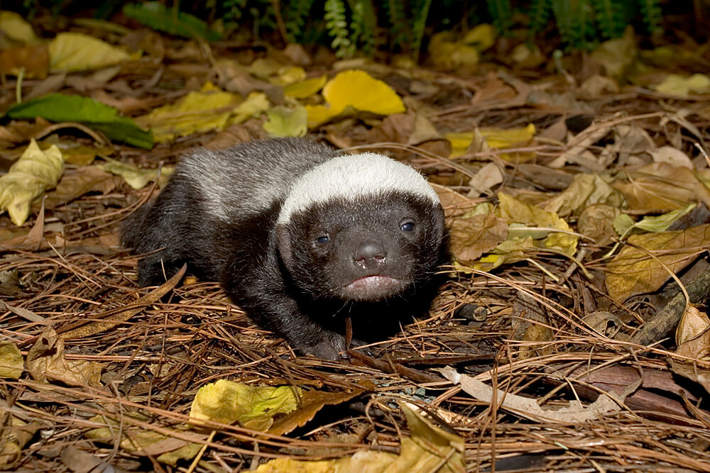 Baby honey badger