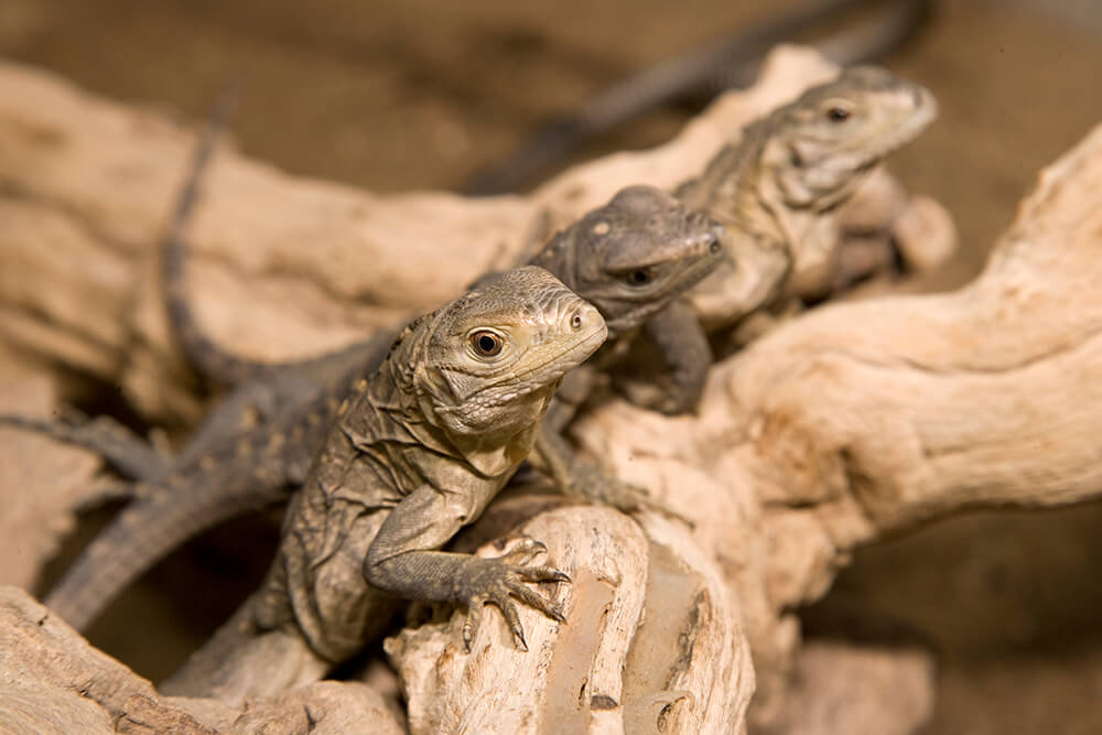 Three endangered Grand Cayman blue iguana hatchlings