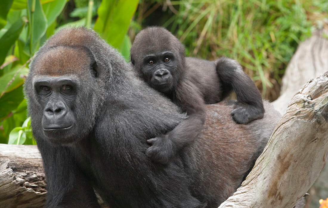 Baby gorilla hangs onto an adult female gorilla's back by grasping her arm hair in his hands and back hair with his feet.