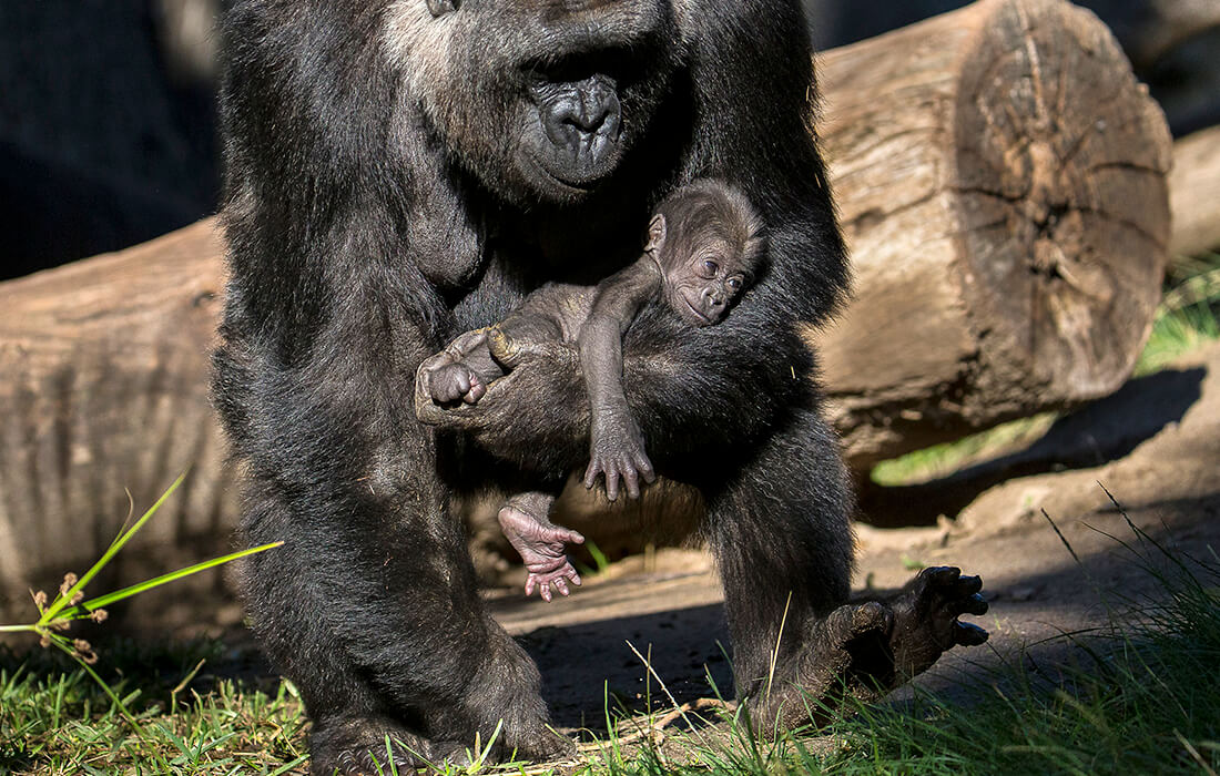 Mother gorilla, Jessica, holds infant in one arm as she uses other arm to help her walk.