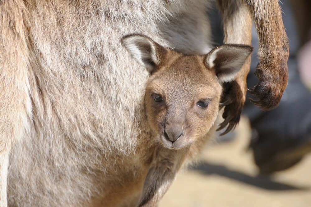 Kangaroo joey peeking out of its mother's pouch.