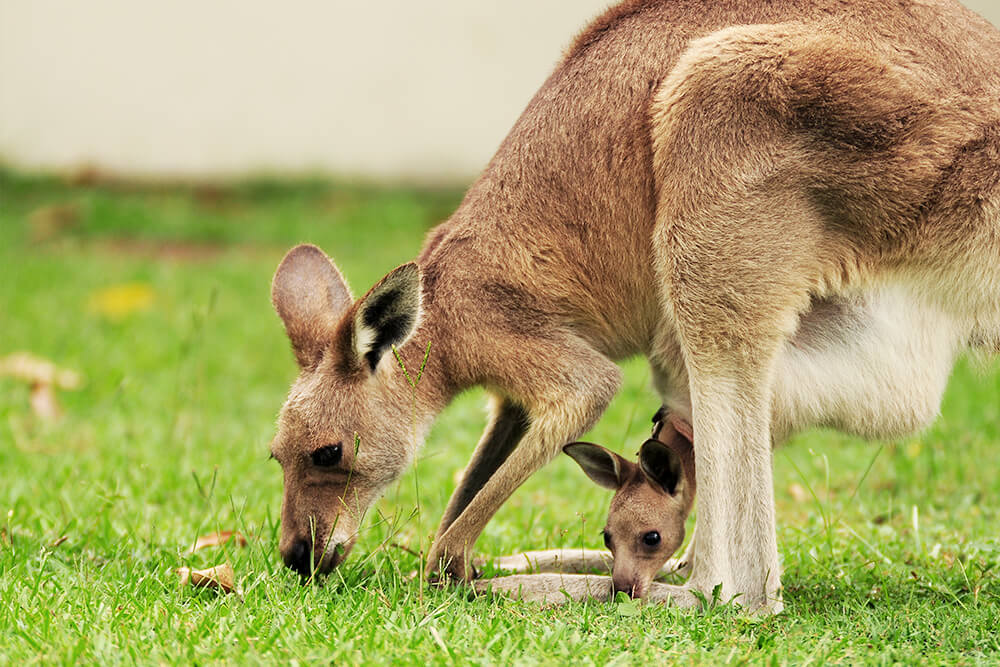 Kangaroo nibbles on grass with joey in her pouch