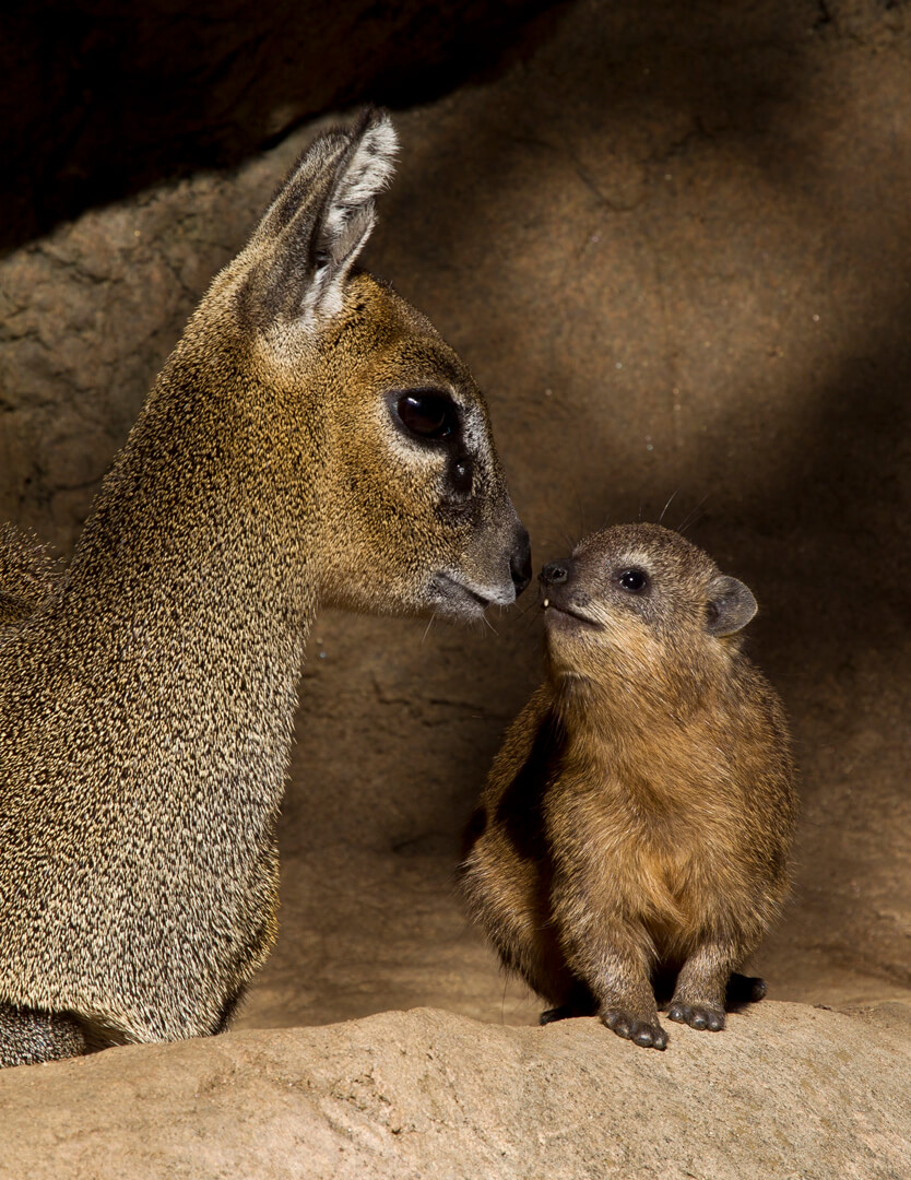 Klipspringer and rock hyrax