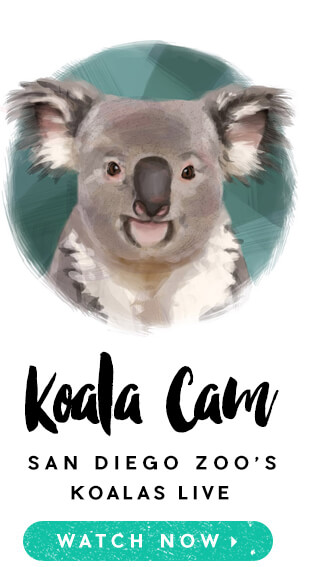 San Diego Zoo's Koala Cam.  Watch Now.