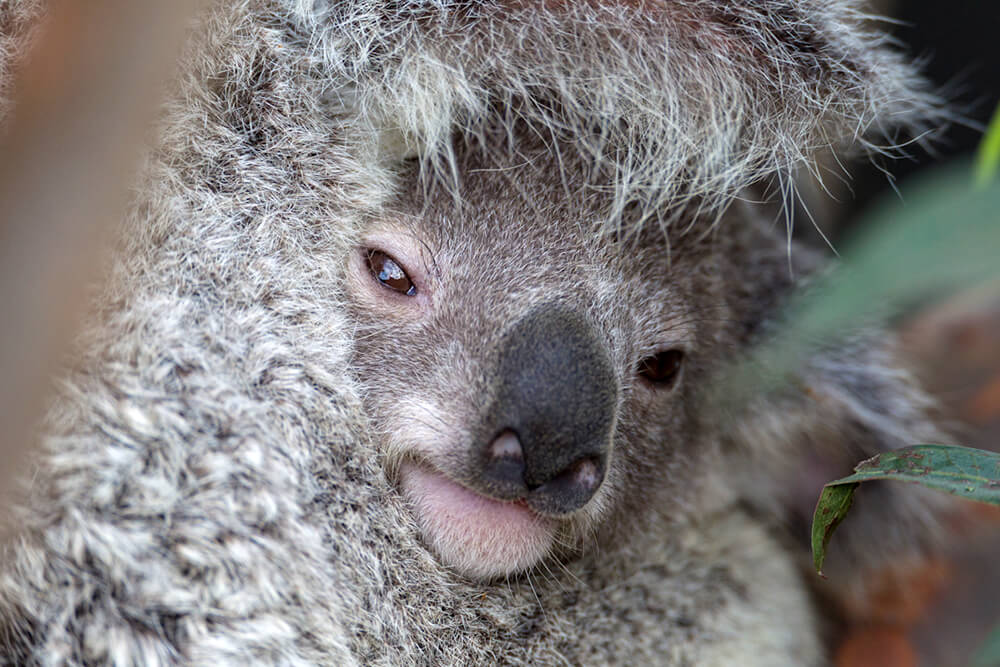 A Baby Koala Peeks Out Of Its Mothers Pouch