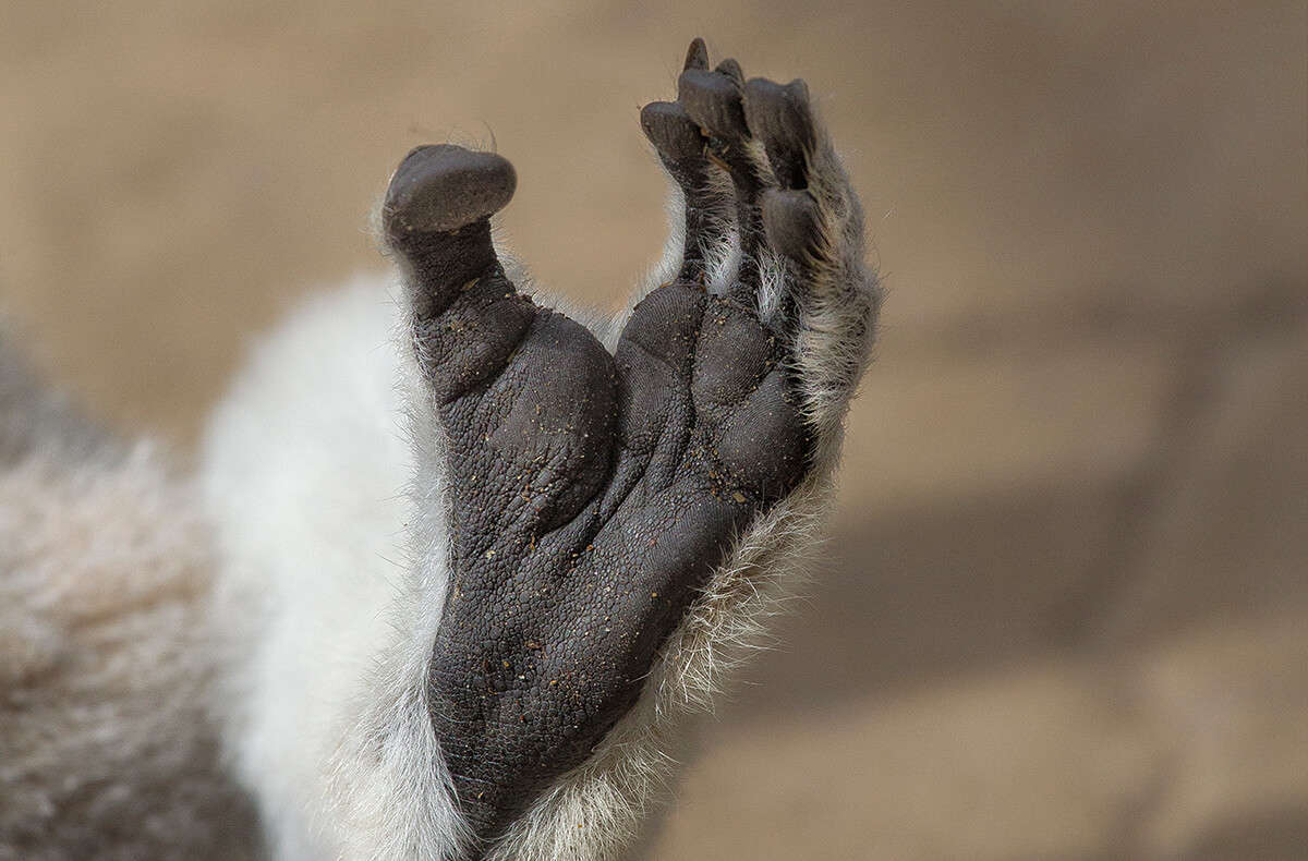 Close-up of a ring-tailed lemur's hand