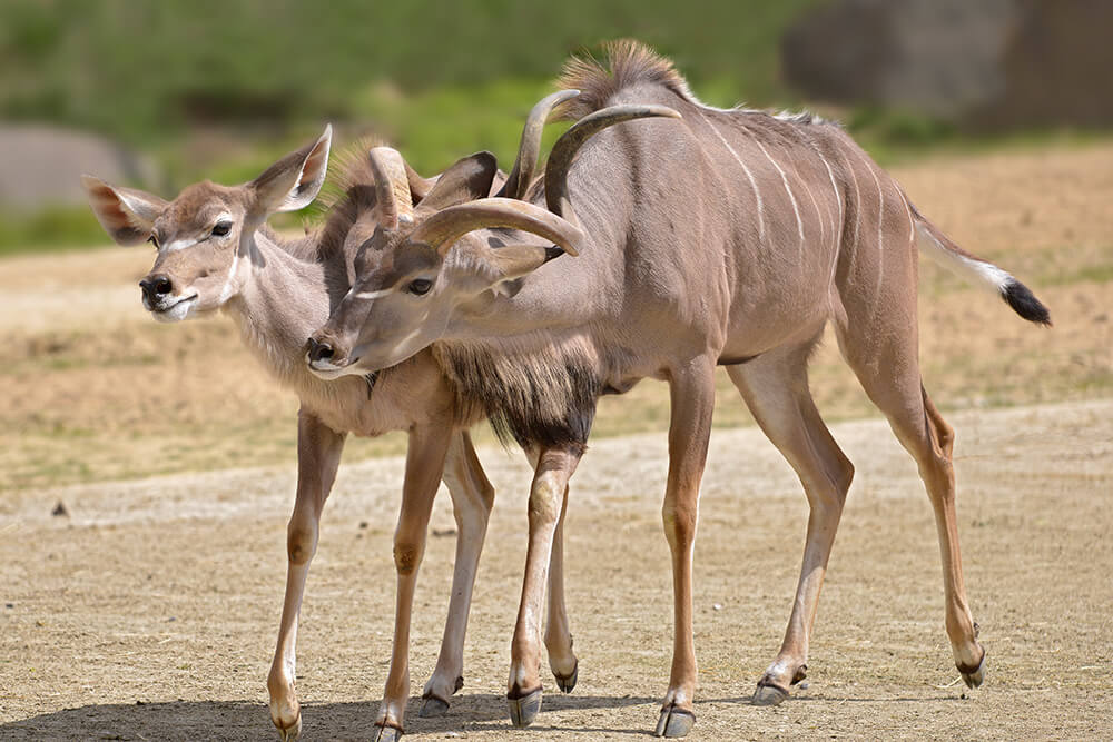 Common kudu male rubs up against the side of a female