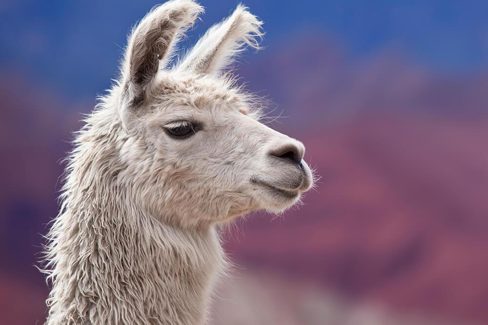Guanaco | San Diego Zoo Animals & Plants Llamas The Animal