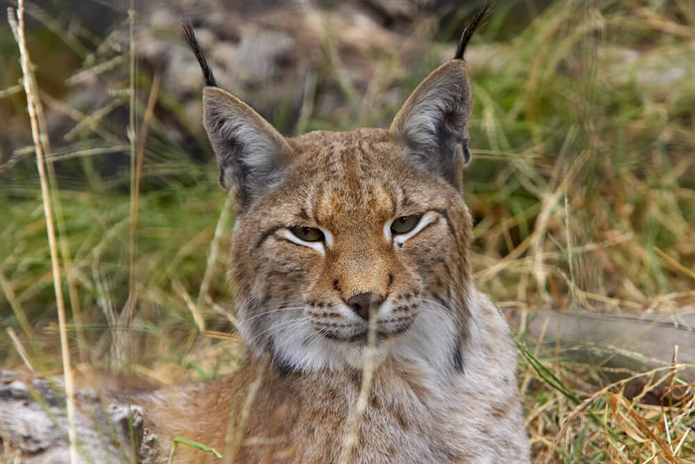 Lynx and Bobcat | San Diego Zoo Animals & Plants