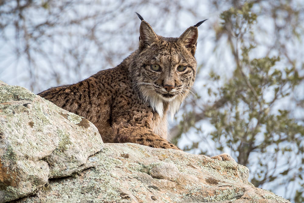 Iberian lynx sits on a lichen covered rock, turning its head to the left.