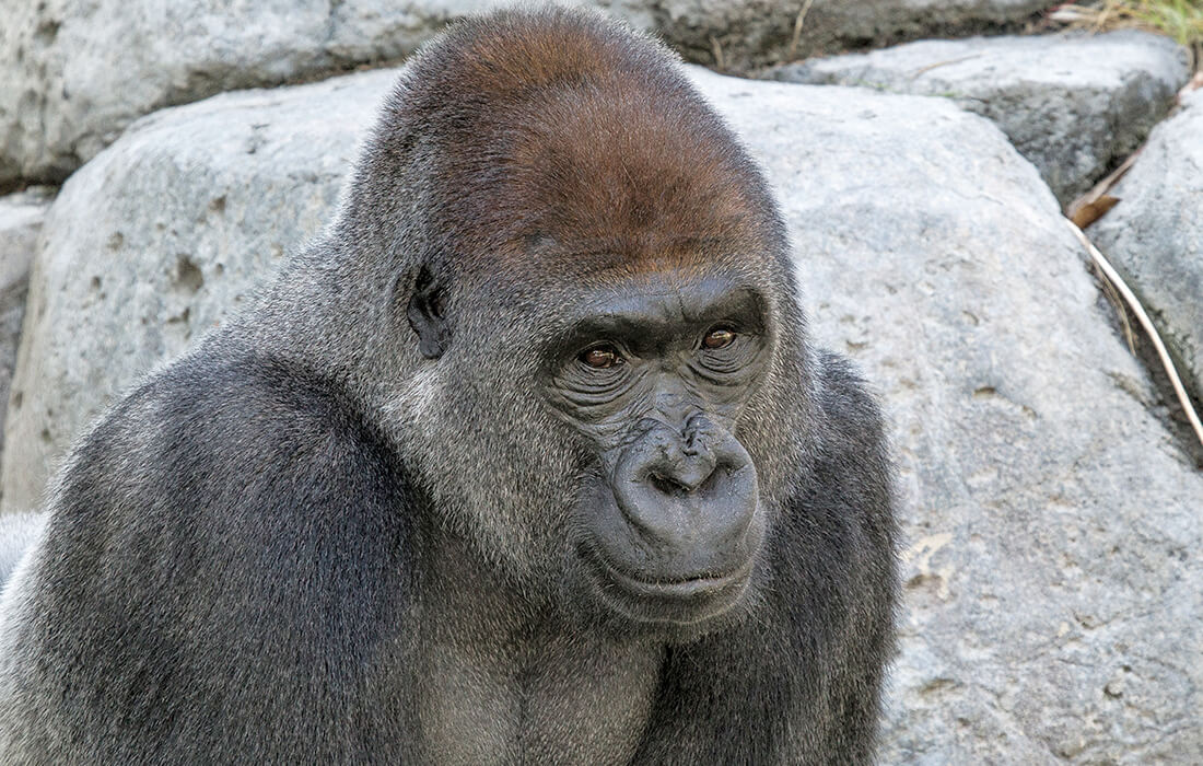 Closeup of a male gorilla looks off to the right