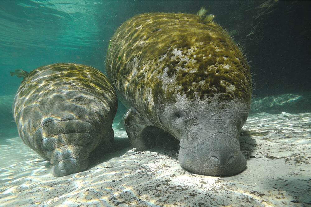 A pair of manatees graze in shallow waters