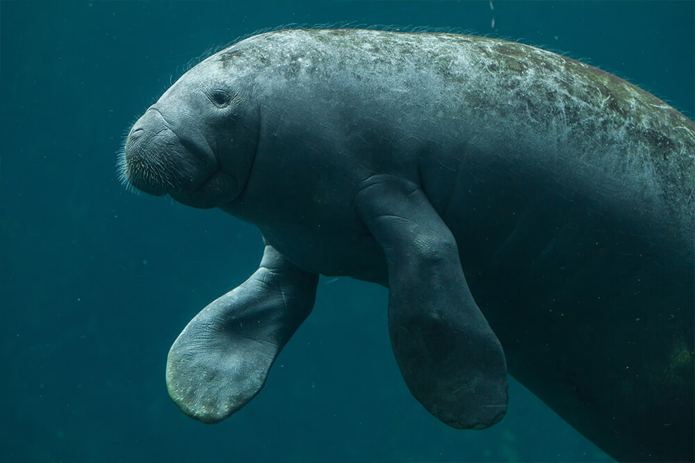A manatee displays its flippers as it floats in water