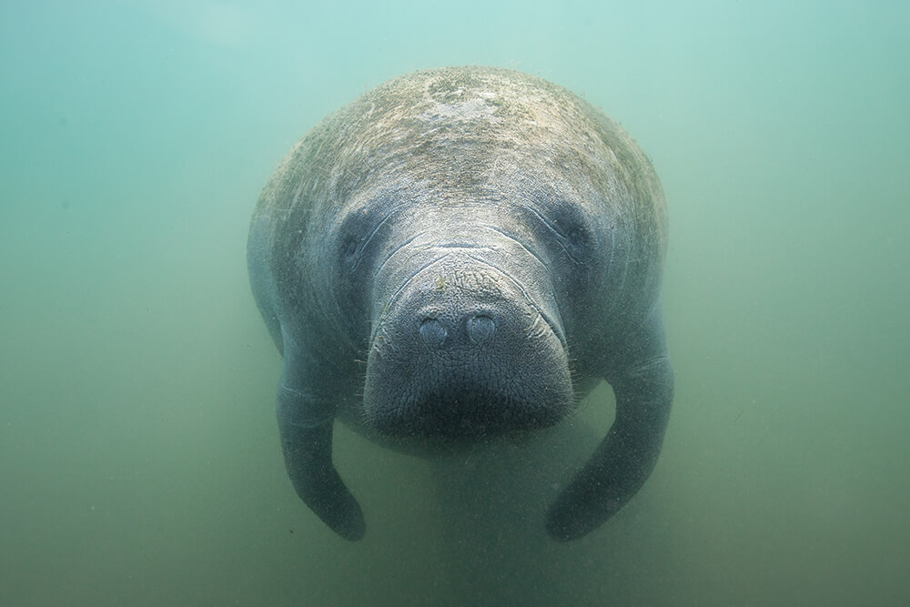 Closeup of a manatee's face and muzzle