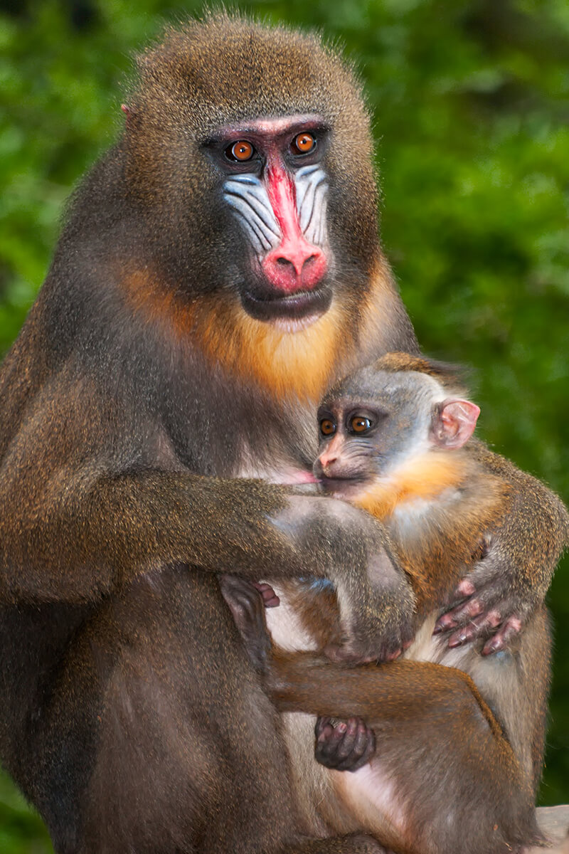 Mandrill female holds her baby