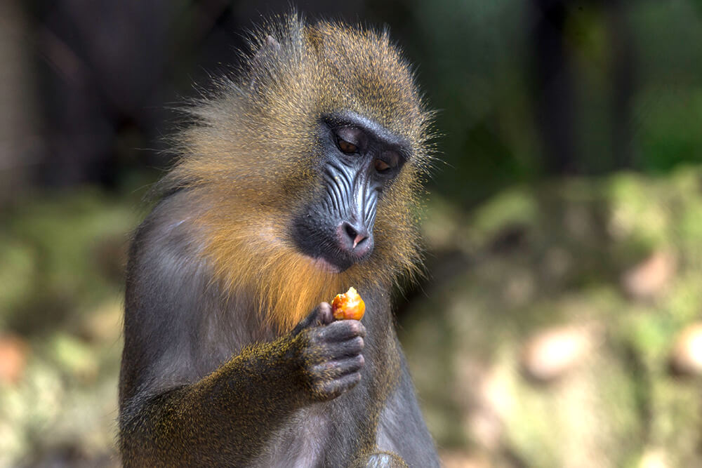 Young mandrill looking at a piece of fruit that it is holding in its hand.