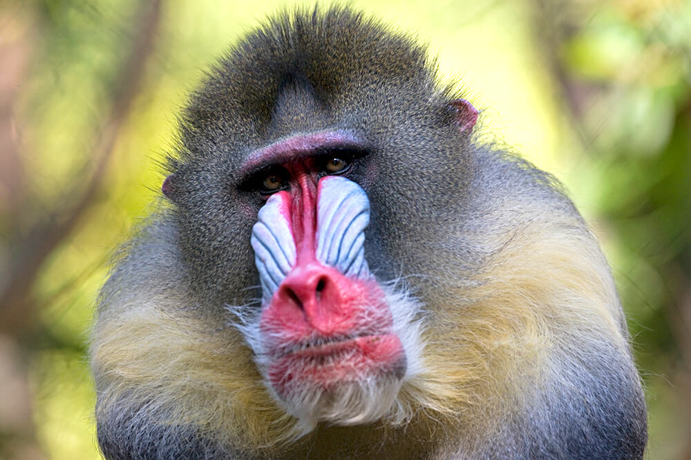 Close up of a male mandrill's face, highlighting his red nose and blue nose pouches.