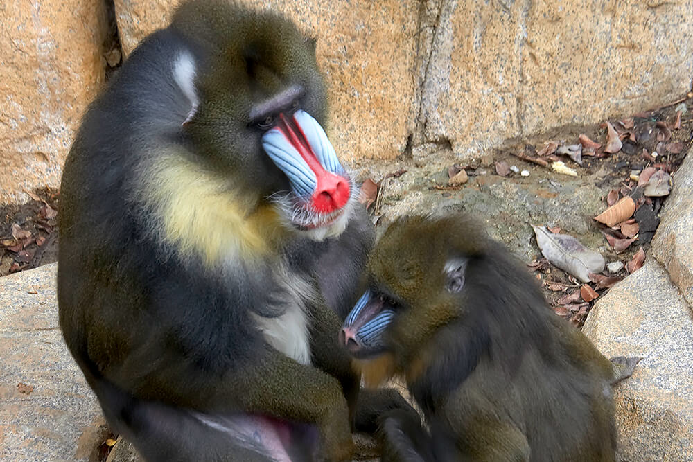 A male mandrill sits left to a female