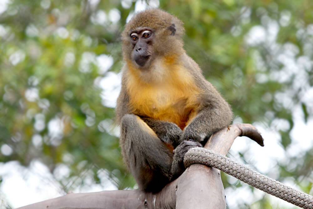 Golden-belied mangabey sits on a tree branch.