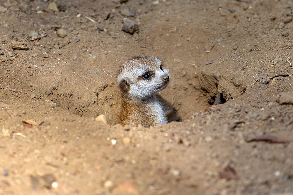A baby meerkat peeks its head out of a burrow