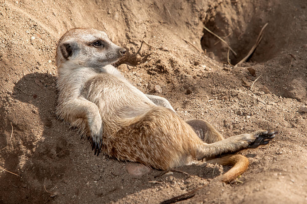A meerkat lounges on its back against a dirt mound