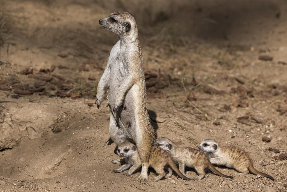 A meerkat mother stands over three pups