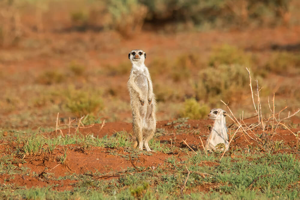 A meerkat stands on alert next to a meerkat peeking from a burrow