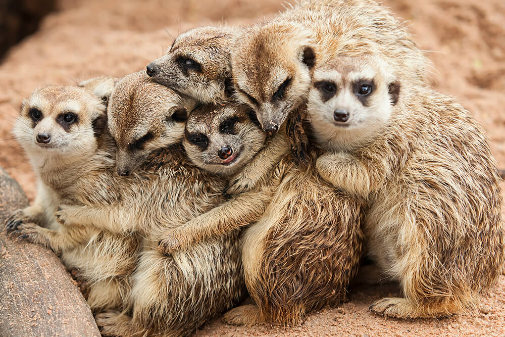 Meerkats huddle together