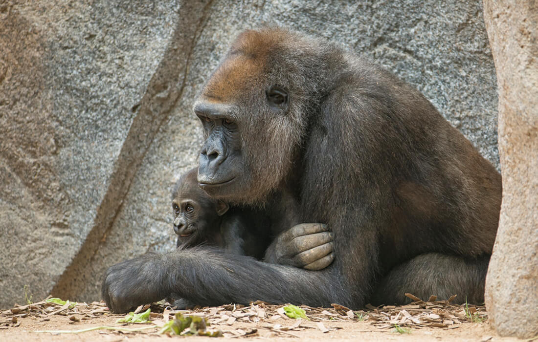 A mother gorilla holds her youngster in her right arm as they both relax near a large granite nook.