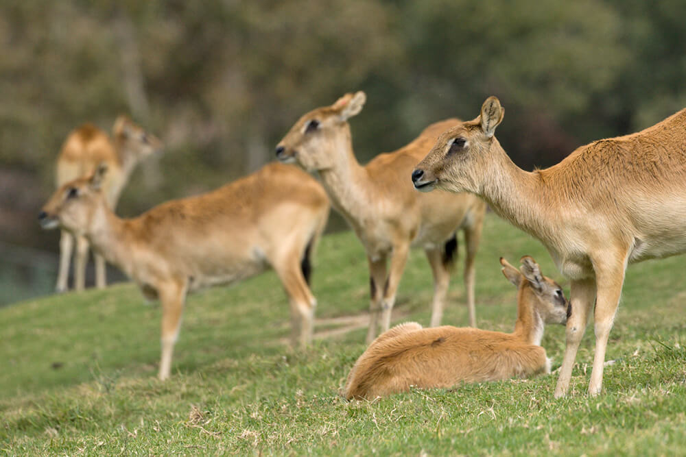 A group of Nile lechwe females