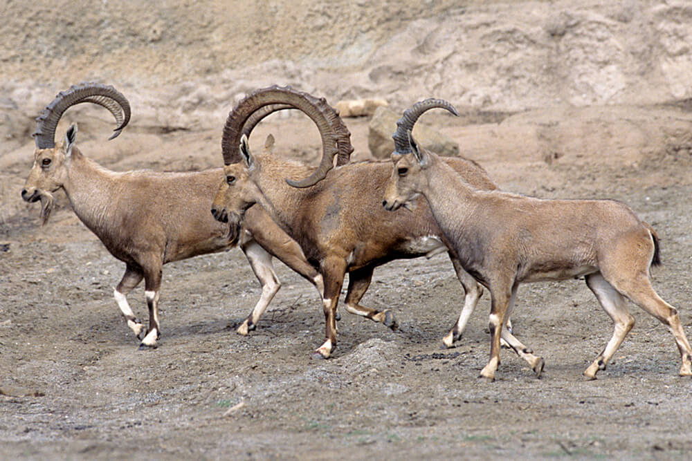 A group of three Nubian ibex