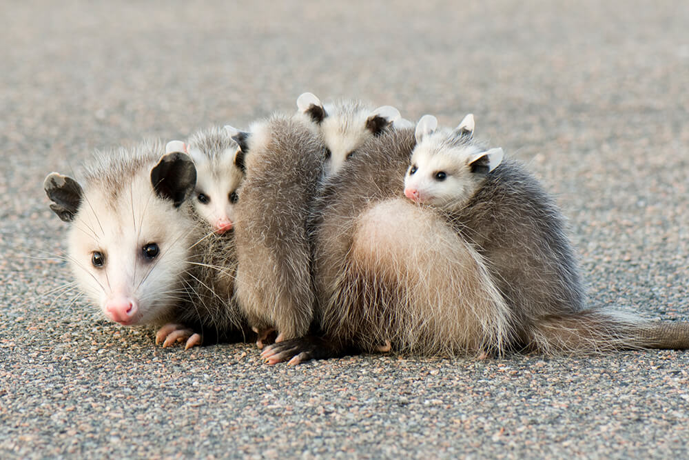 Virginia opossum sitting on pavement with five babies visible on her back.