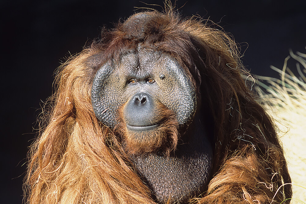 Bornean orangutan male displaying large throat pouch and cheek circles.