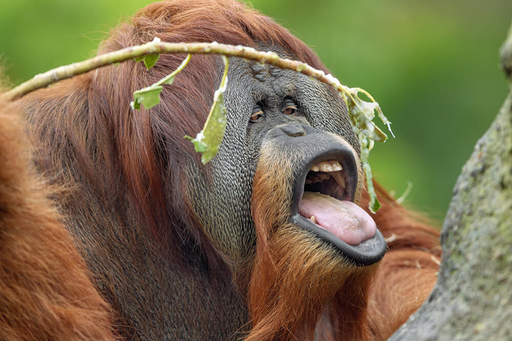 Male orangutan eating leaves off of a small branch.