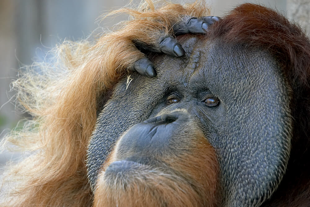 A male Sumatran orangutan with his hand resting on the top of his head.