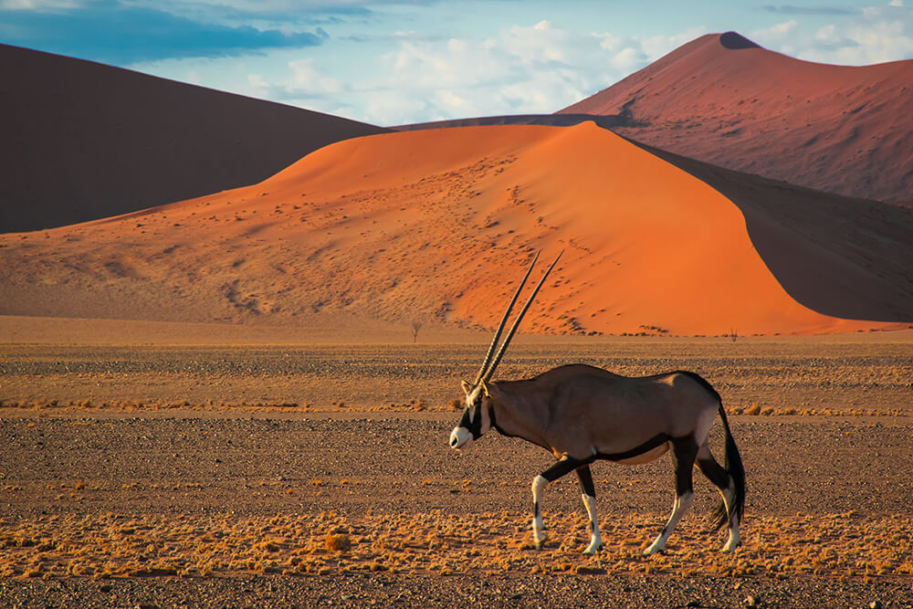 Oryx with desert dunes behind it.