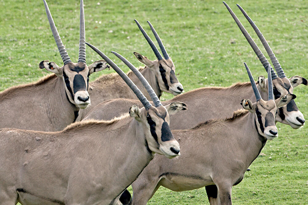 Fringe-eared oryx at San Diego Zoo Safari Park