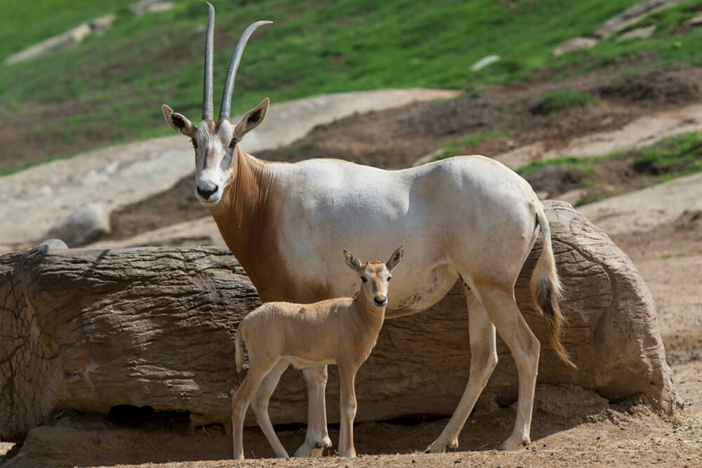 Scimitar oryx mother and calf