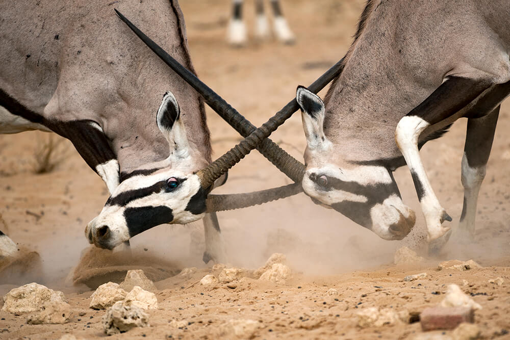 Two male ring-eared oryx locking horns