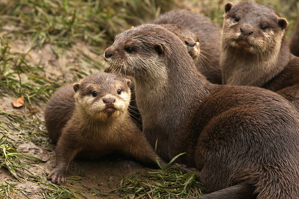 Otter pup with family group