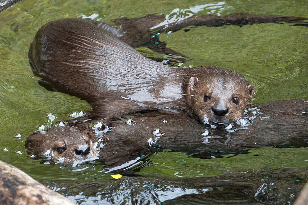 Two spot-neck otters swim at the San Diego Zoo